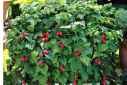 Flowering Raspberry Bush