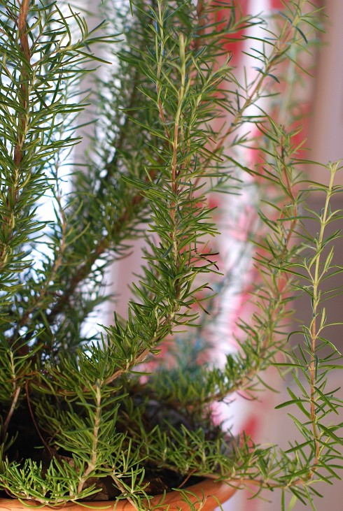 How to Care for Rosemary | The Naptime Chef